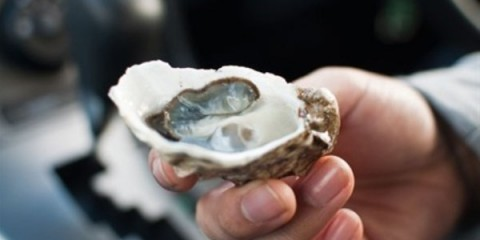 WTFSG_fact-file-oysters