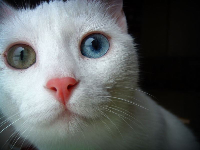 WTFSG_laser-treatment-claims-to-turn-brown-eyes-blue-cat