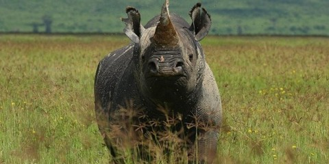 WTFSG_permit-to-hunt-black-rhino-auctioned-for-us350000_1